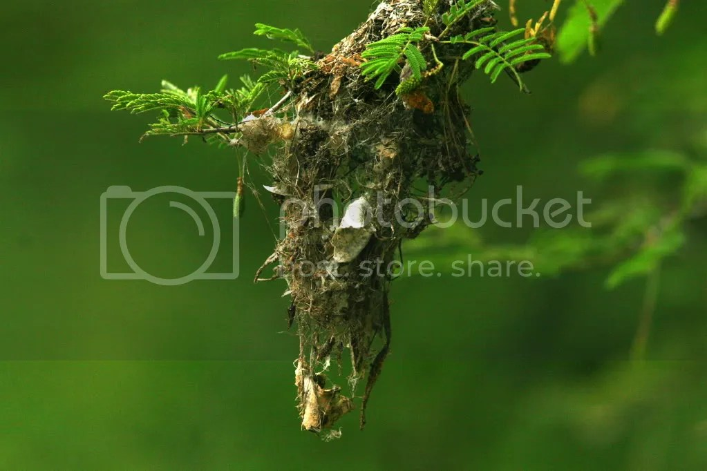 sunbird nest 080912  Uganiyam