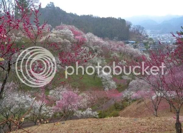 Festivales de ciruelos en flor en Japón