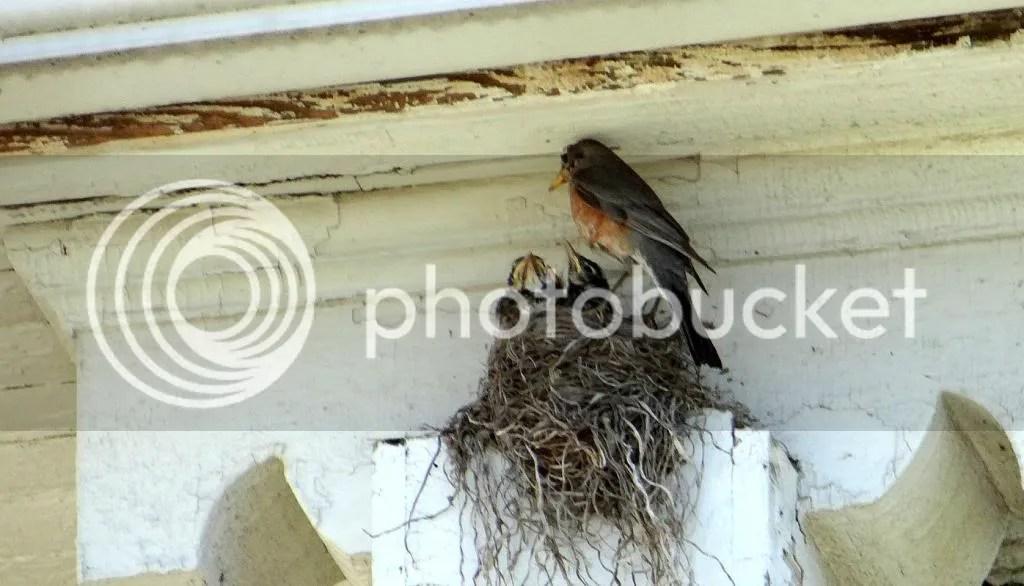 robin's nest stl 240513 photo DSC07663_zpsee101161.jpg