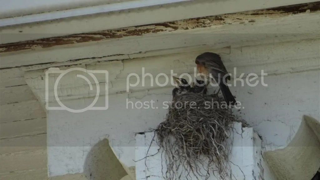 2  robin's nest stl 240513 photo DSC07664_zpsb1208175.jpg