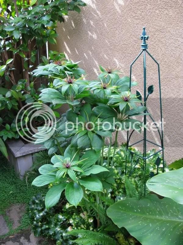 Paris polyphylla
