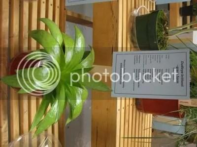 Dudleya brittonii Green Form