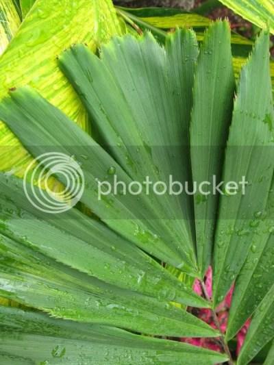 Arenga micrantha leaflets