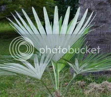 Trachycarpus princeps leaf
