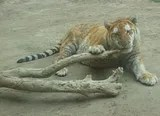 tiger_oaysyszoo_.jpg