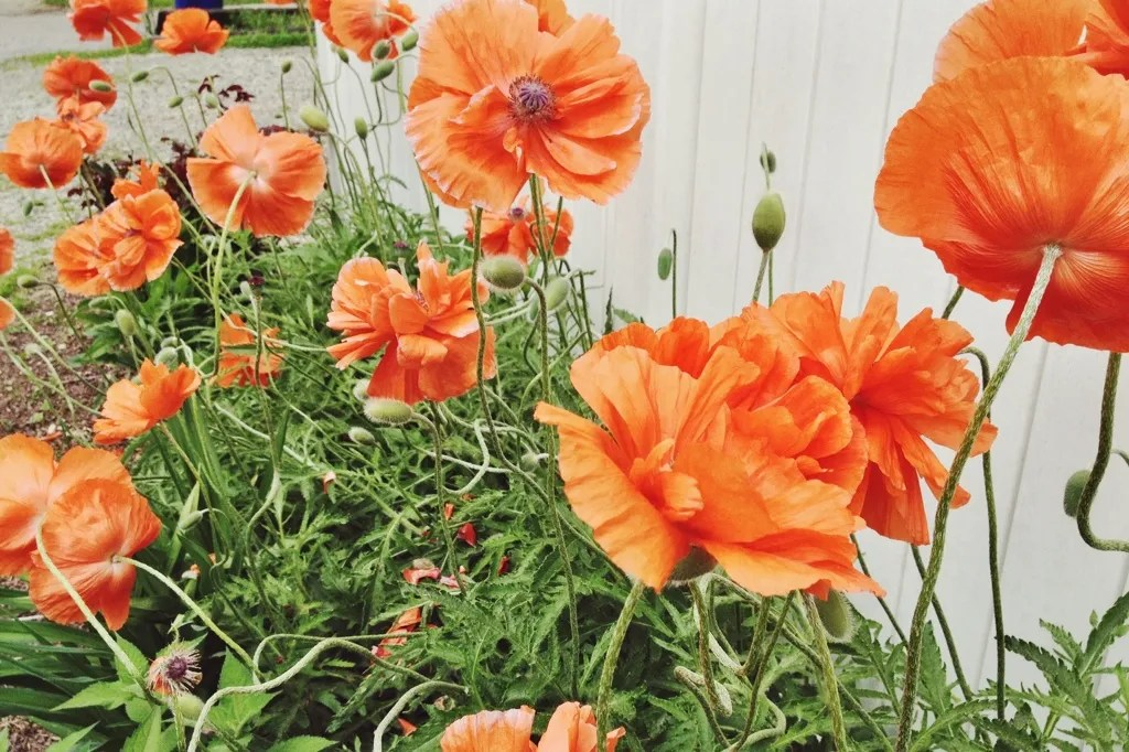 neighborhood poppies