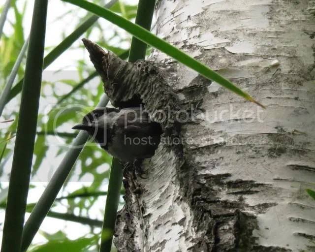 Chickadee at Nest Hole photo ChickadeeatNestHole2_zps2119d037.jpg