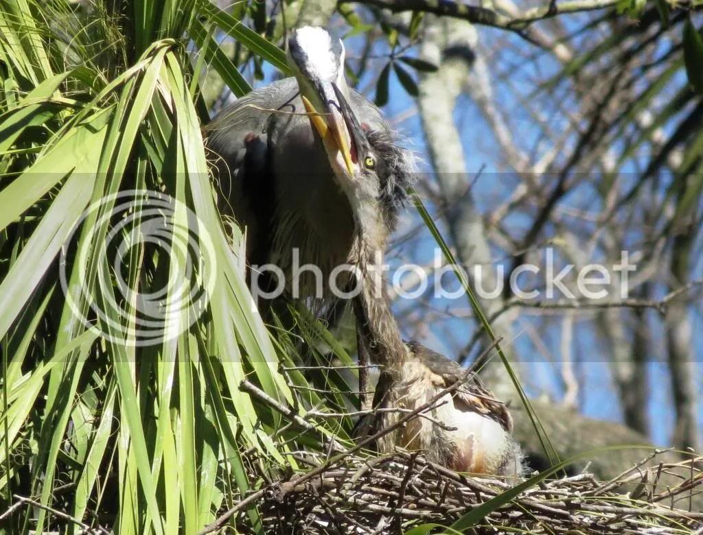 Great Blue Heron feeding chick photo GreatBlueHeronandChick1_zpsf04ec7be.jpg