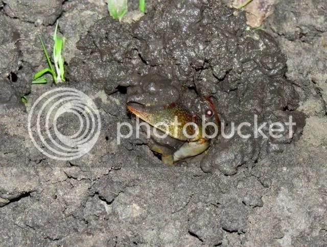 Burrowing Crayfish Excavating photo IMG_4323_zps8286f4ab.jpg