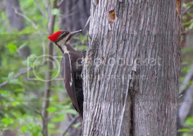 Pileated Woodpecker - Female photo IMG_4649_zps69bfd55e.jpg