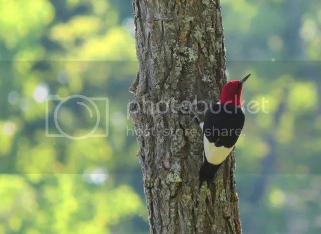Red-headed Woodpecker photo IMG_4808_zps4fc5d282.jpg