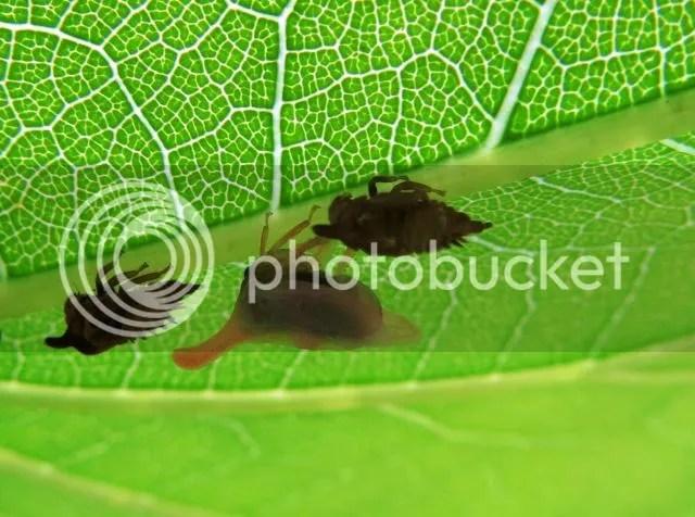 Newly emerged Adult Two-marked Tree Hopper photo IMG_5350_zps12b7e841.jpg