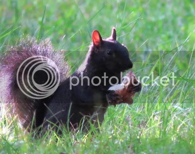 Gray Squirrel eating Large Mushroom photo IMG_5636_zpsb8716694.jpg