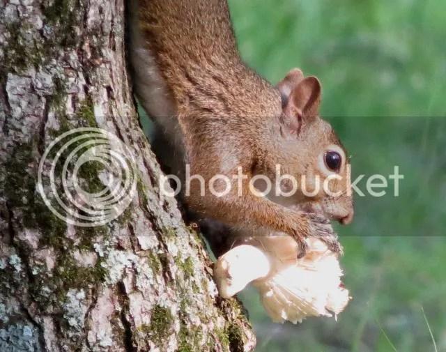 Grey Squirrel Dining on Large Mushroom photo IMG_5752_zps65254972.jpg