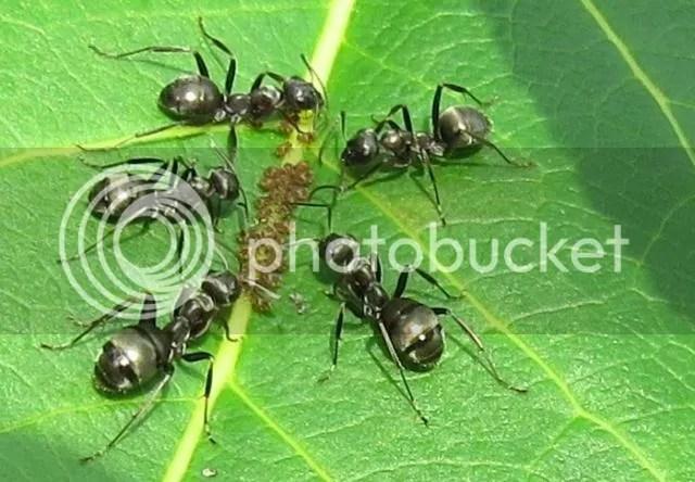 Black Ants tending Aphids Detail photo IMG_6029_zps876822ff.jpg