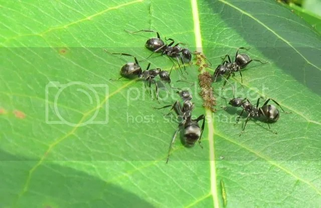 Black Ants tending Aphids photo IMG_6030_zps0b51e9ae.jpg