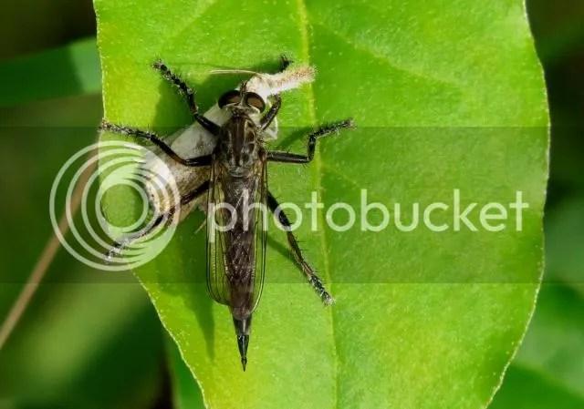 Machimus Robber Fly photo IMG_6196_zps100b77ae.jpg