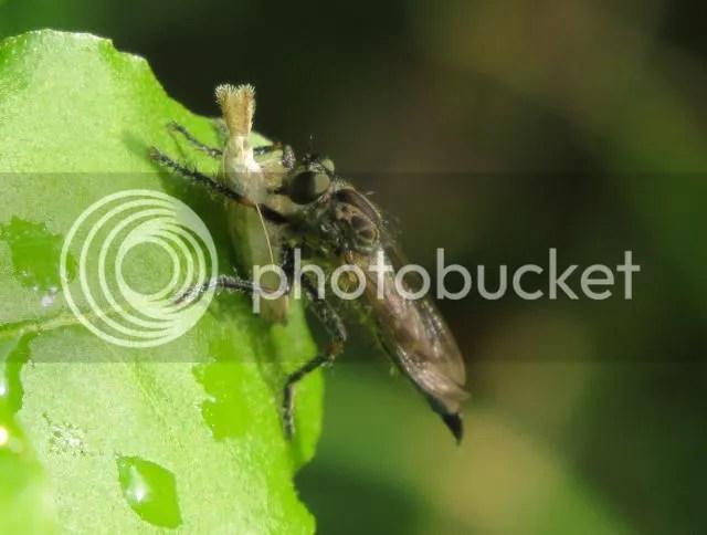 Machimus Robber Fly photo IMG_6197_zpsf10e509e.jpg
