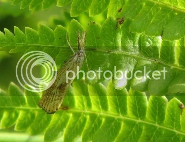 Small White Grass Veneer Moth photo IMG_6229_zps71b0c278.jpg