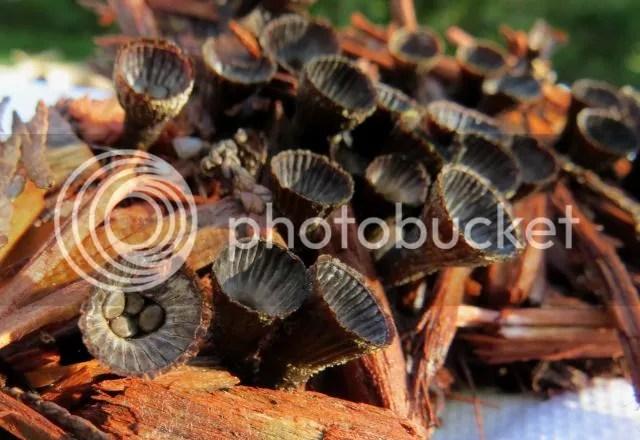 Bird's Nest Fungi photo IMG_6426_zps342c07d7.jpg