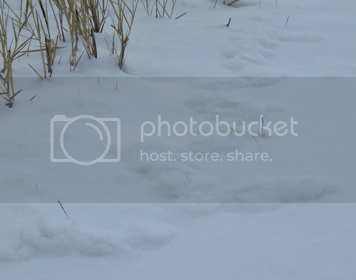 Meadow Vole Tunnels in the Snow photo IMG_7651_zps87574d70-1.jpg