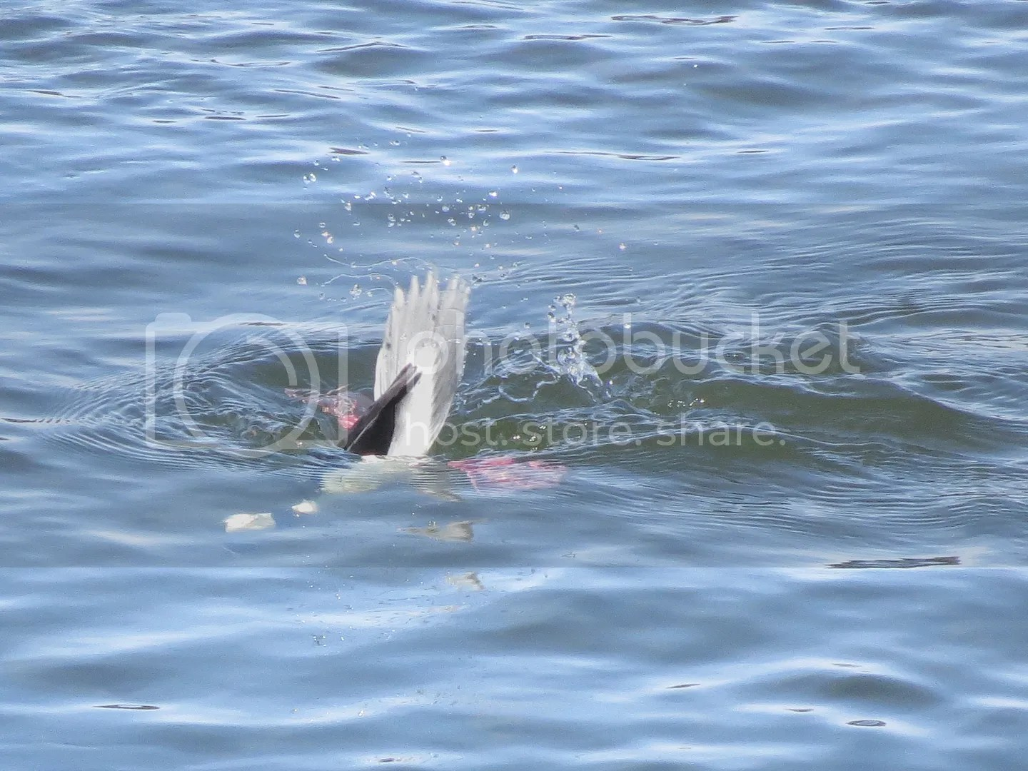 Diving Bufflehead photo IMG_7948_zpshpfykjk4.jpg