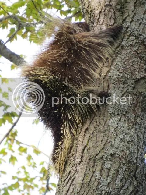 Porcupine Climbing photo PorcupineClimbingaTree_zps4e051e4a.jpg