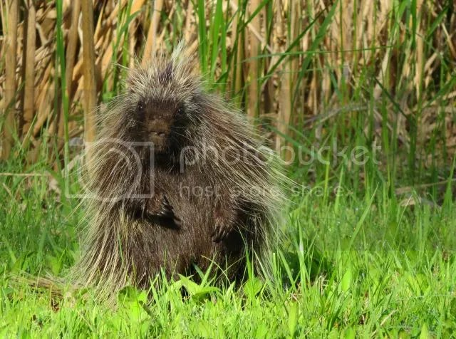 Porcupine Staring photo PorcupineStaring1_zps431bcca7.jpg