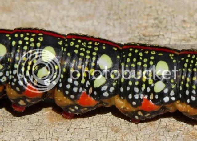 Spurge Hawk Moth Caterpillar photo SpurgeSphinx4_zps79a14557.jpg