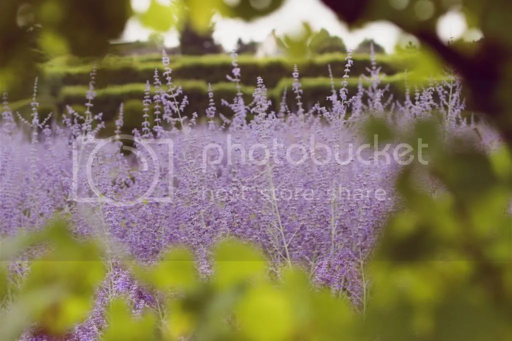 photo Lavender_zps29aa566a.jpg