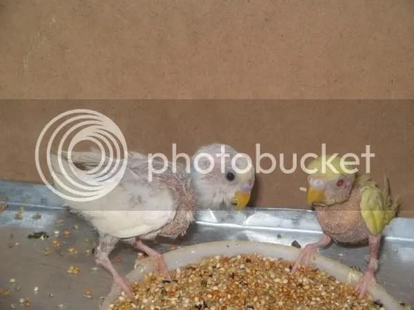 Gine kümes hayvanı yumurtası: evde kuşların yetiştirilmesi
