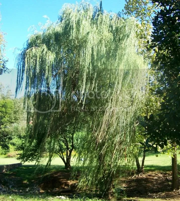 willow photo: weeping willow 100_6148_zps0bf28e45.jpg