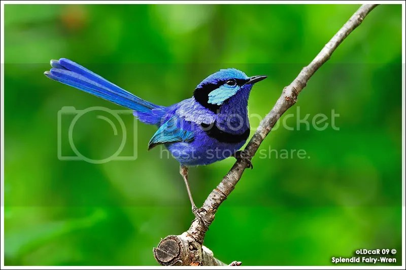 Splendid Fairy Wren 3