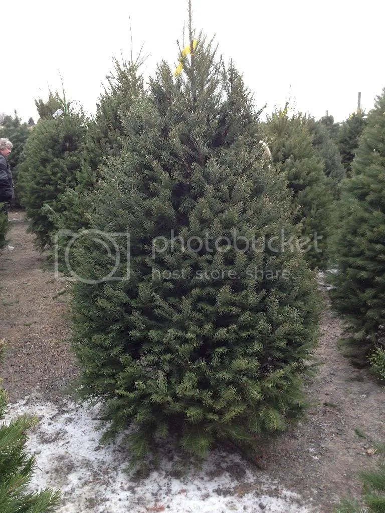 christmas tree, hand cut, tree farm