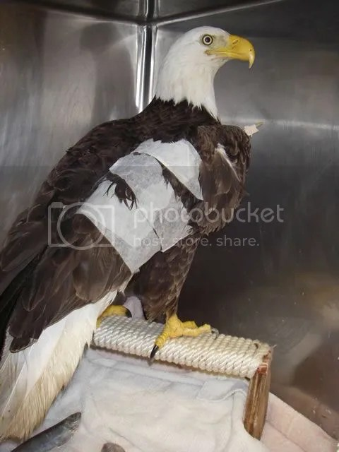 photo picture-of-eagle-with-broken-wing_zpsklqkpbhm.jpg