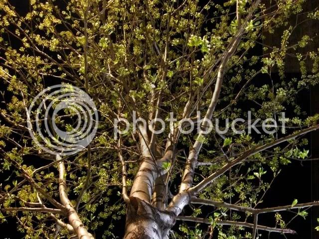 tree buds in Spring, night shot