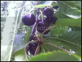 Black sweet cherries at Detering Orchards