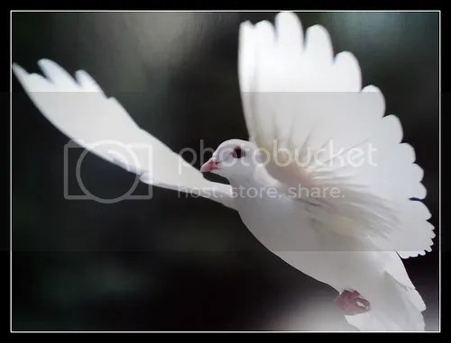 White Dove Pictures, Images and Photos