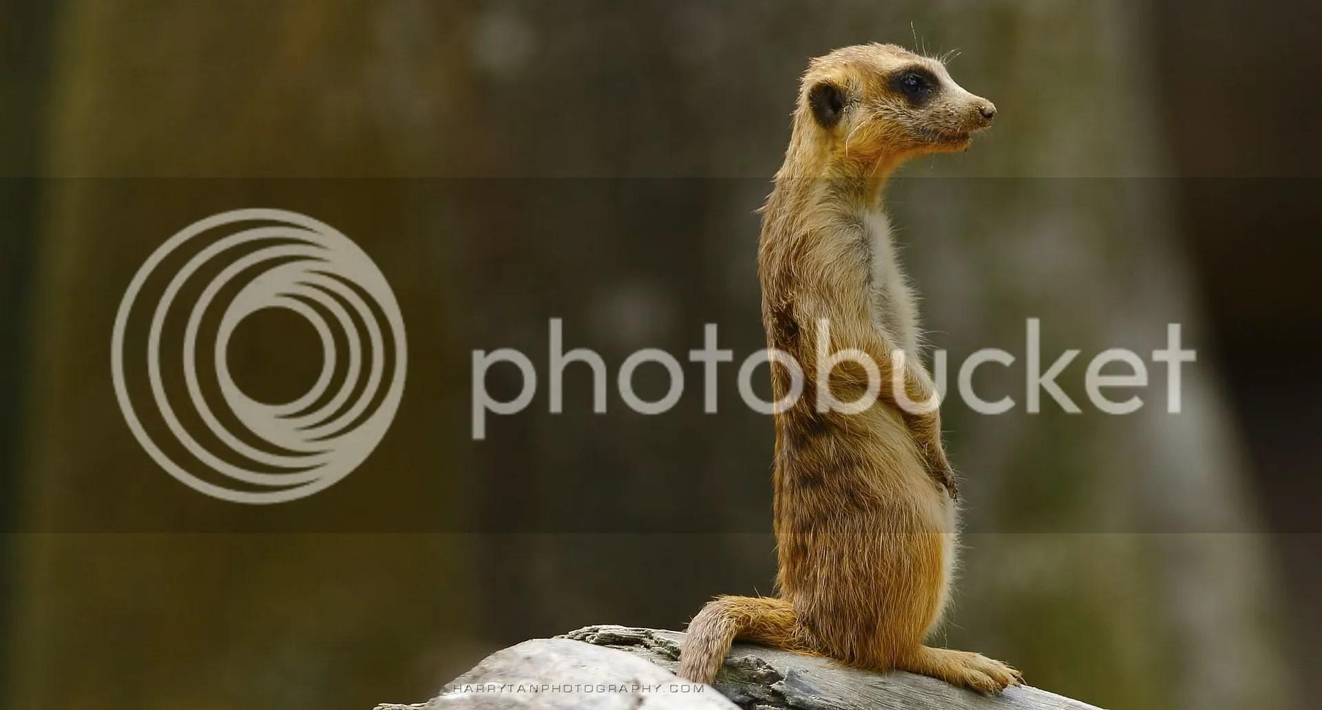 The Meerkat Sentry