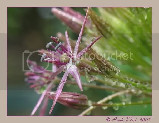 Allium of Uienbol