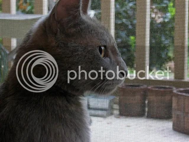 schmee grey gray shorthair kitty
