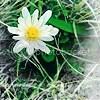 daisy icons photo: Daisy Daisy.png