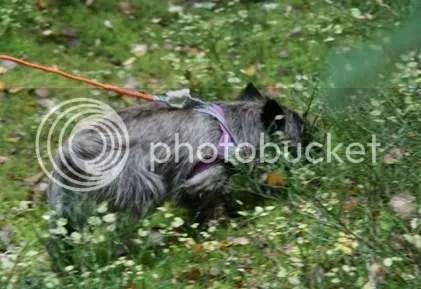 Zorro sporhund