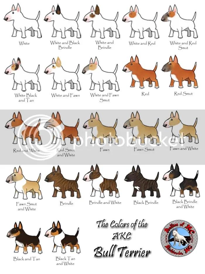Pitbull Dog Color Genetics Coloringsite