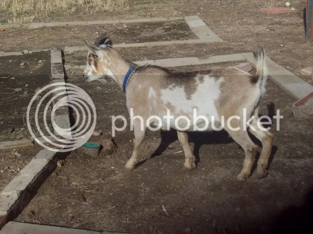 New Goat Vaginal Discharge Pics