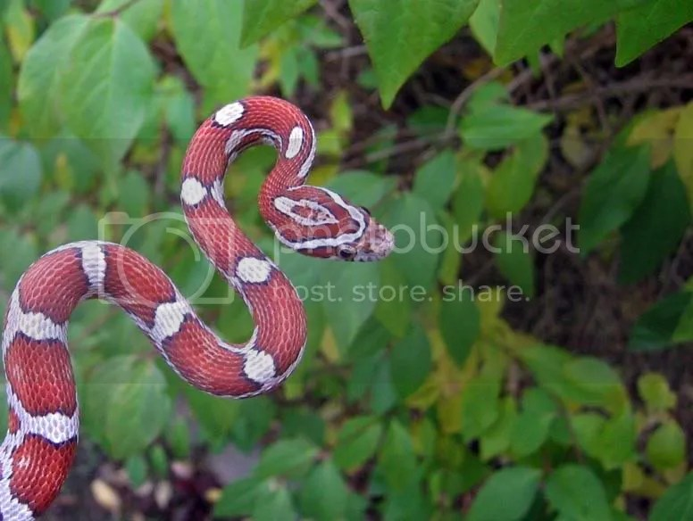 snakes Cobras graphics and comments