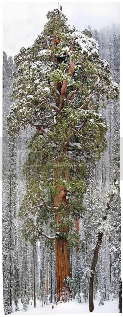 photo giant-sequoia-photo-michael-nichols_zps518edfec.jpg