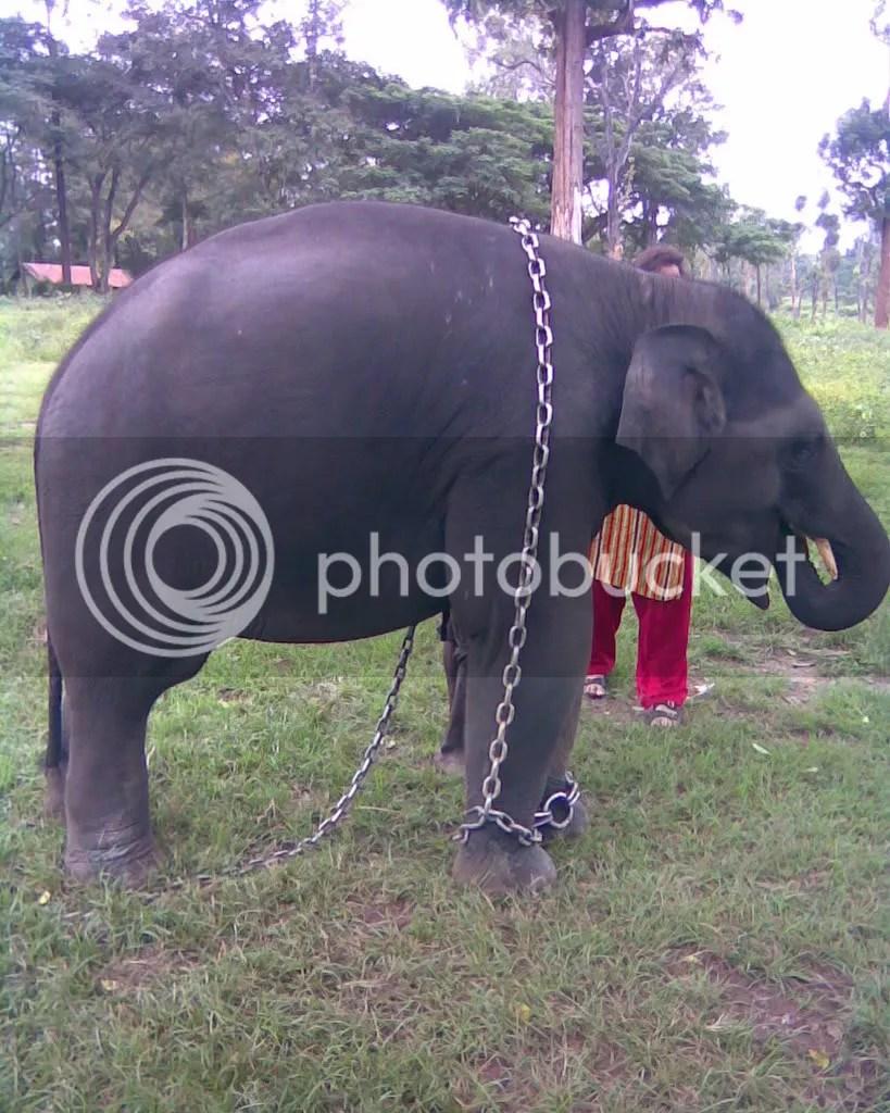 Parshuram, 2 yr old elephant in Dubare Camp