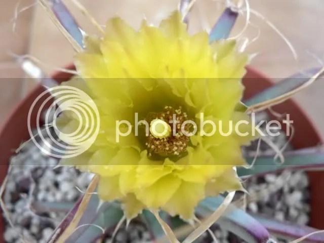 Luecthembergia principis in fiore... da questa pianta si possono ottenere ibridi interessanti impollinandola con le cultivar di astrophytum e ferocactus