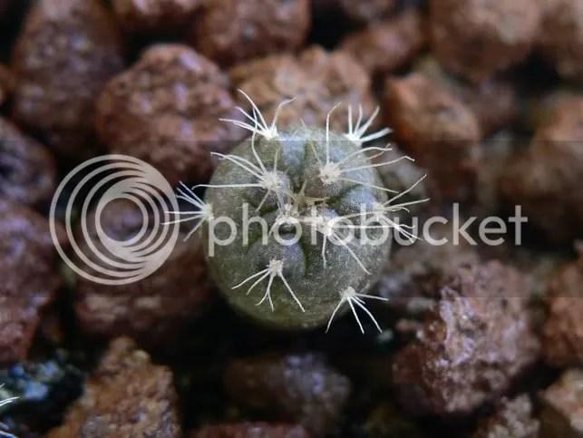 Semina di gymnocalycium mesopotamicum (3 mesi), plantule cresciute ed in ottima forma.